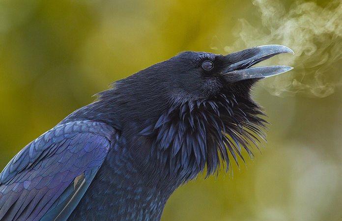 Hechos asombrosos del cuervo