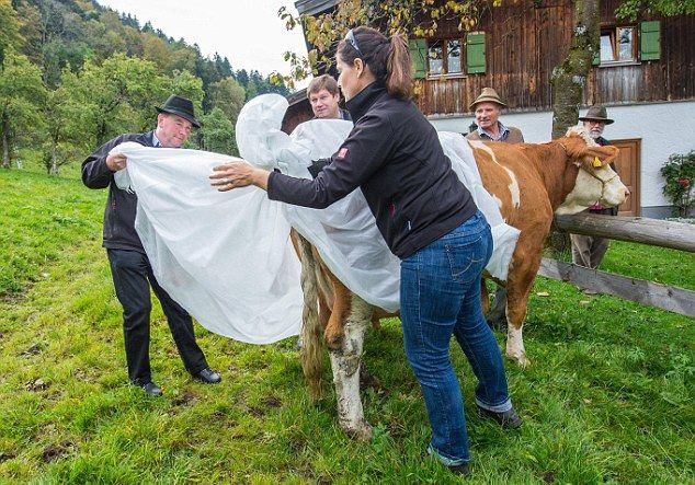 Коровы в подгузниках