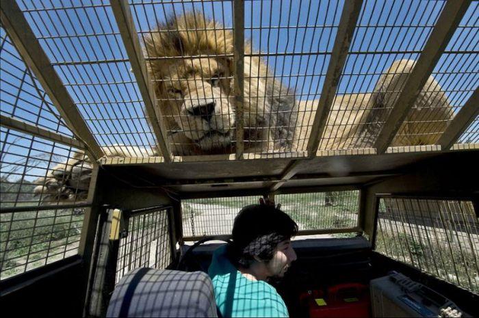 В чилийском зоопарке все наоборот