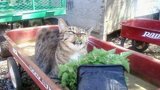 Кошачья мята и ее воздействие на котов