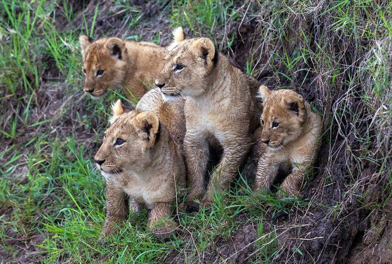 Мама учит львят перепрыгивать ручей