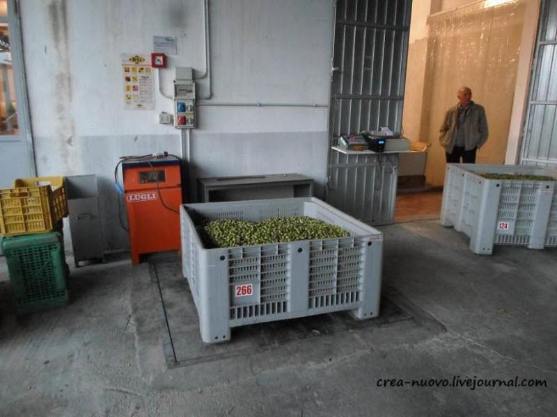 Сбор оливок на Сицилии