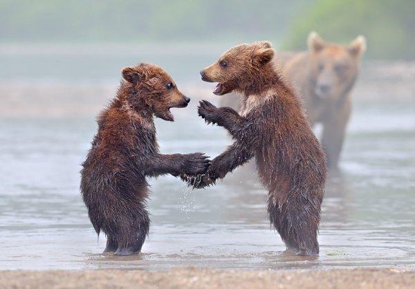 Мамы-медведицы учат своих малышей