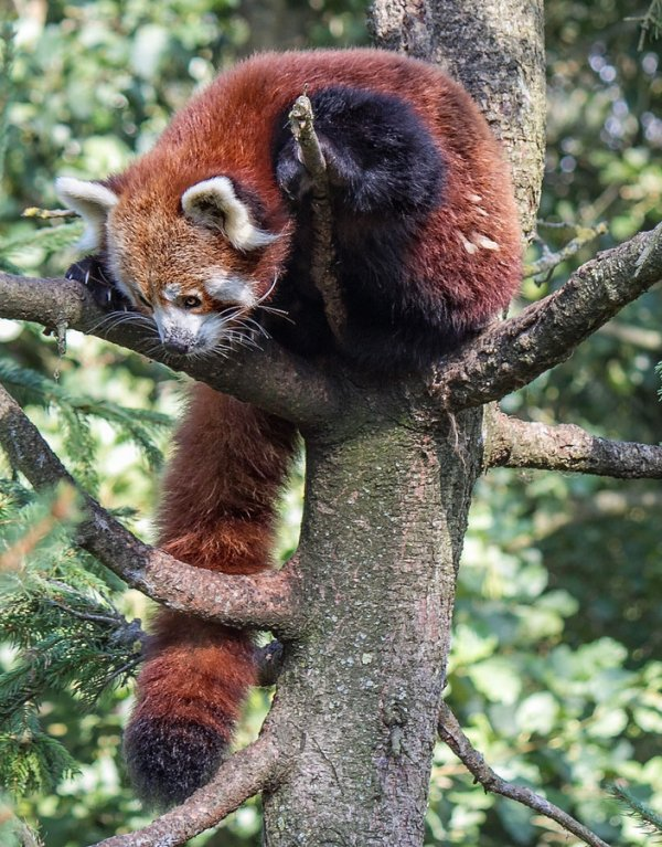 Необычайно милые красные панды