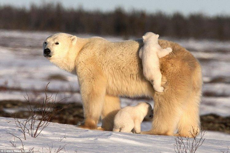 Белые медведи и медвежата