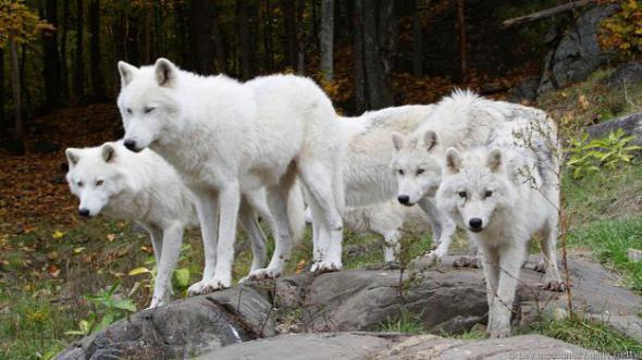 Удивительные факты о волках
