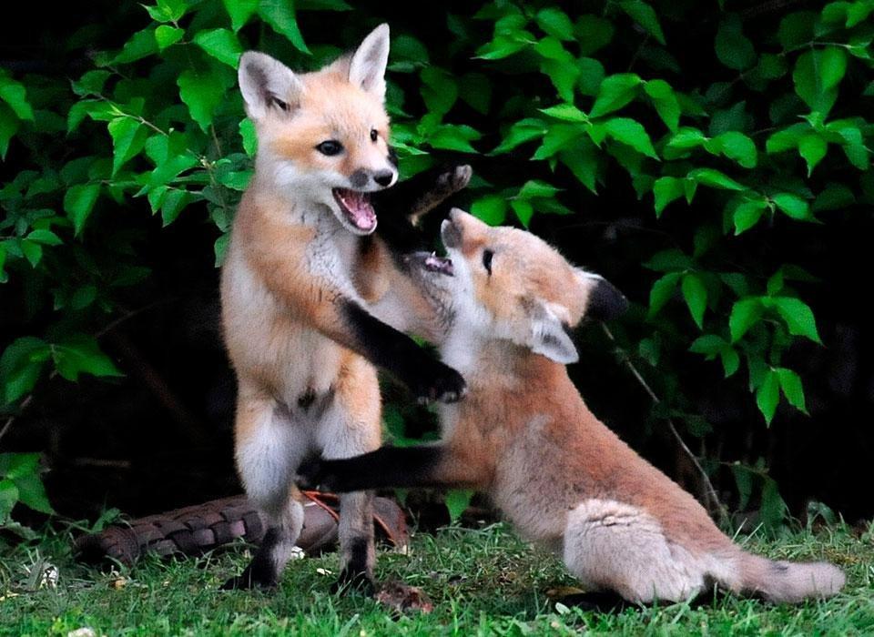 Милые лисы