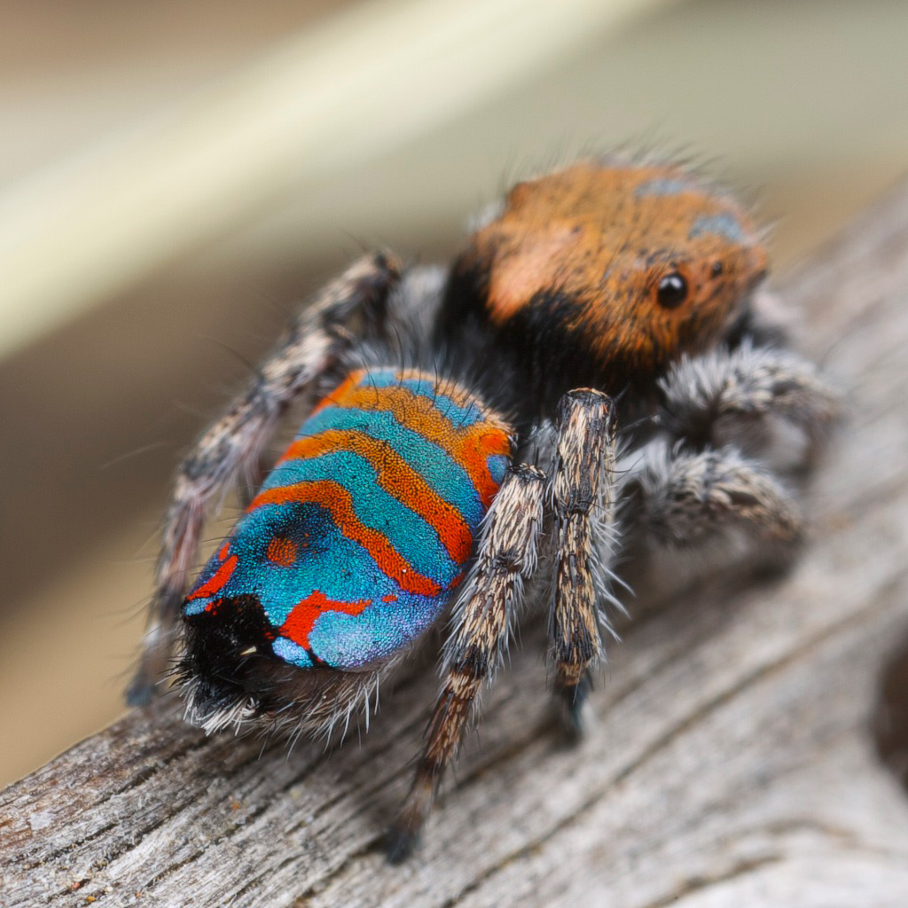 Красивые павлиньи пауки