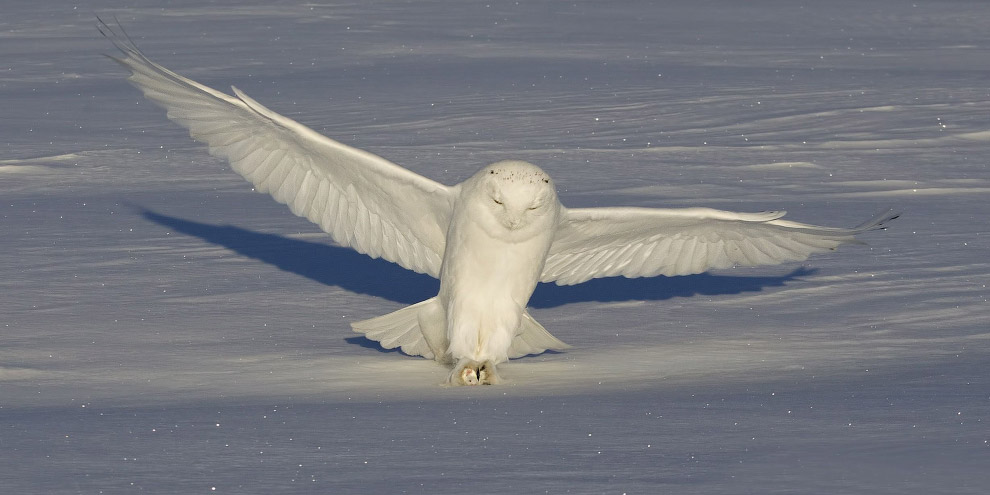 Полярная сова охотится по всей зоне тундр