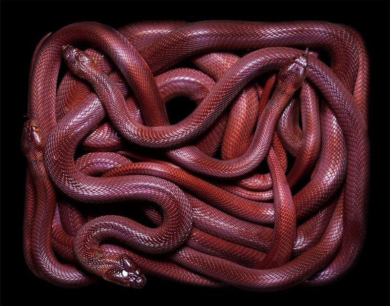 Природная красота змей в объективе Гвидо Мокафико