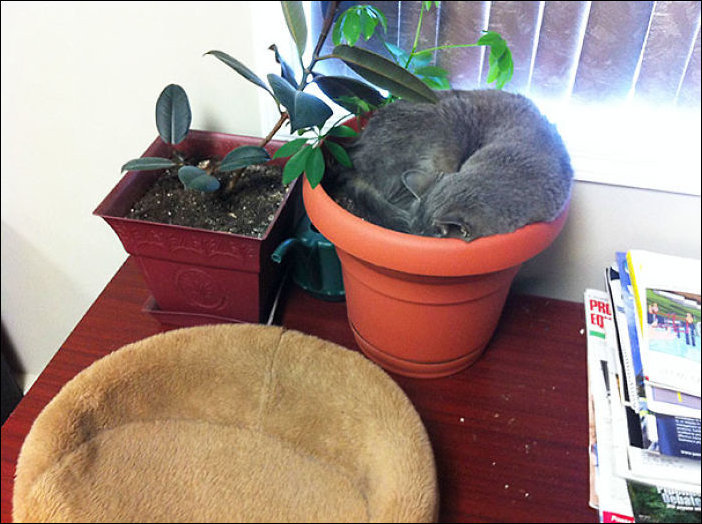 Коты в цветочных горшках