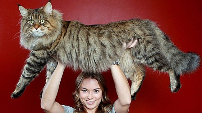 Большие коты: нереально крутые