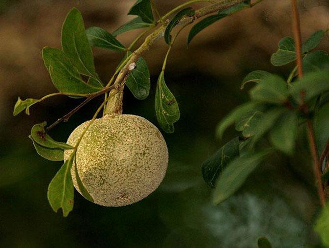 Непривычные виды цитрусовых