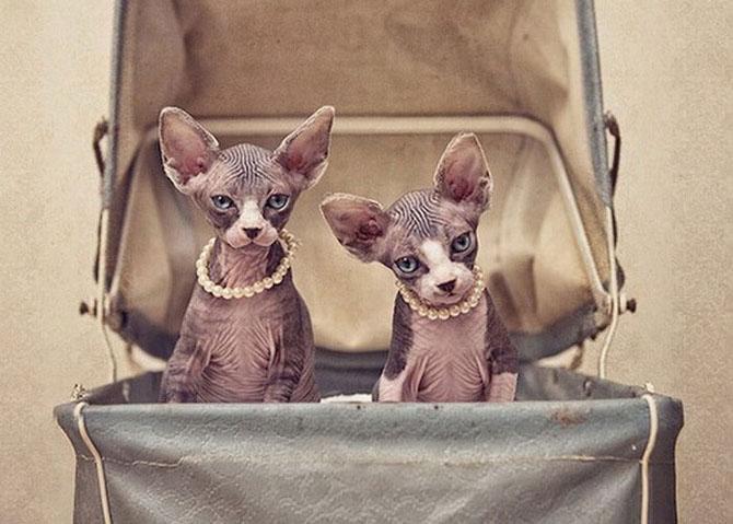 Кошки-сфинксы на фотографиях Серены Ходсон
