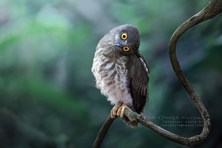 Выразительные совы от фотографа Саси Смит