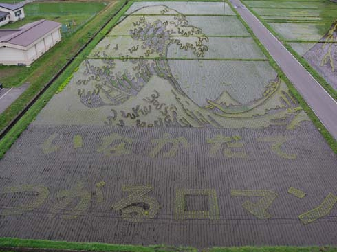 Рисунки на рисовых полях в Японии