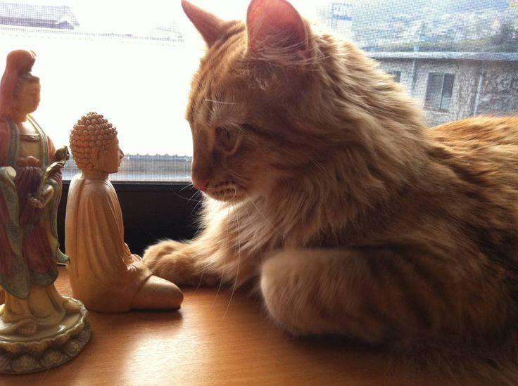 Коты - настоящие буддисты