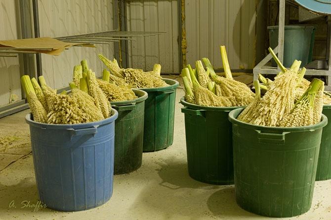 Как выращивают финики