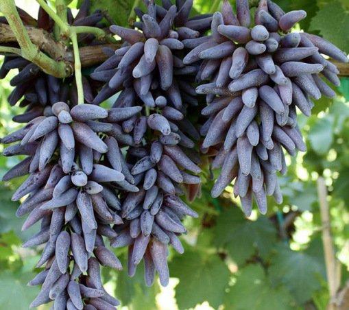 Редкие и необычные сорта винограда