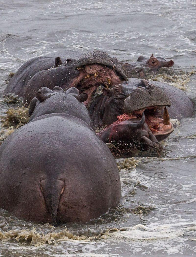 Бегемоты избавляются от новорожденного детеныша