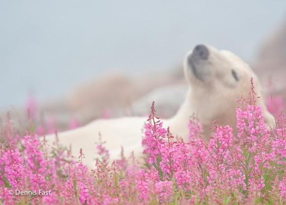 Белые медведи в бескрайних зарослях иван-чая