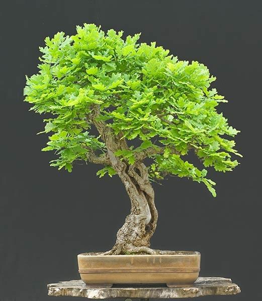 Интересные факты о деревьях бонсай