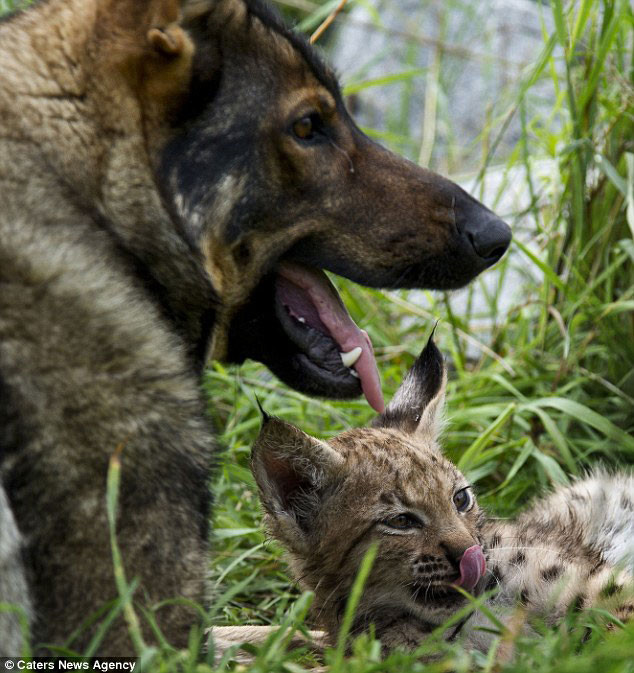 Необычная дружба рысят и немецкой овчарки