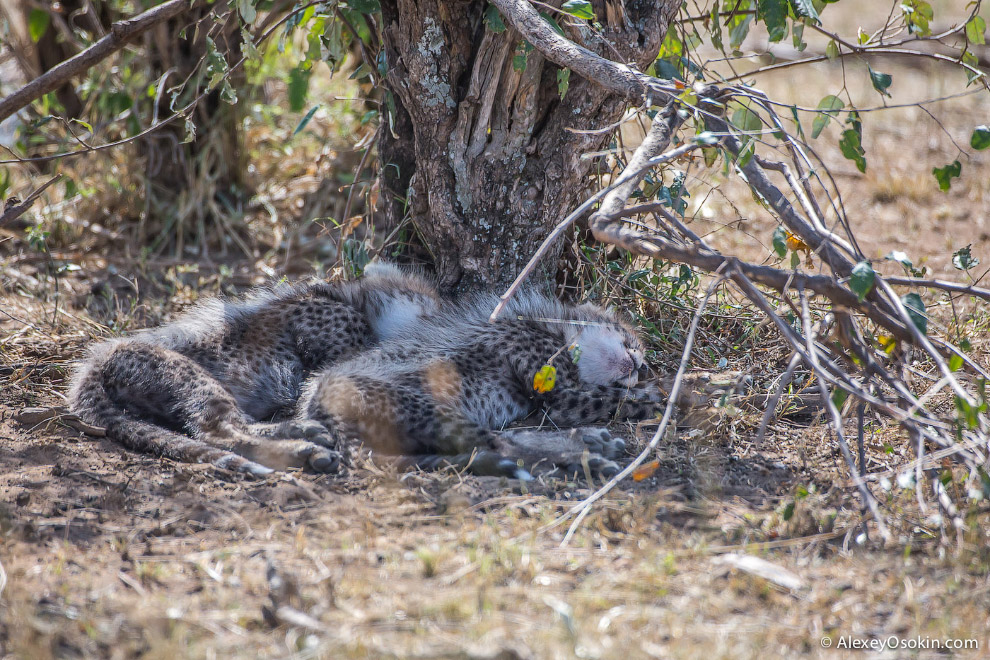 Из жизни матери гепарда