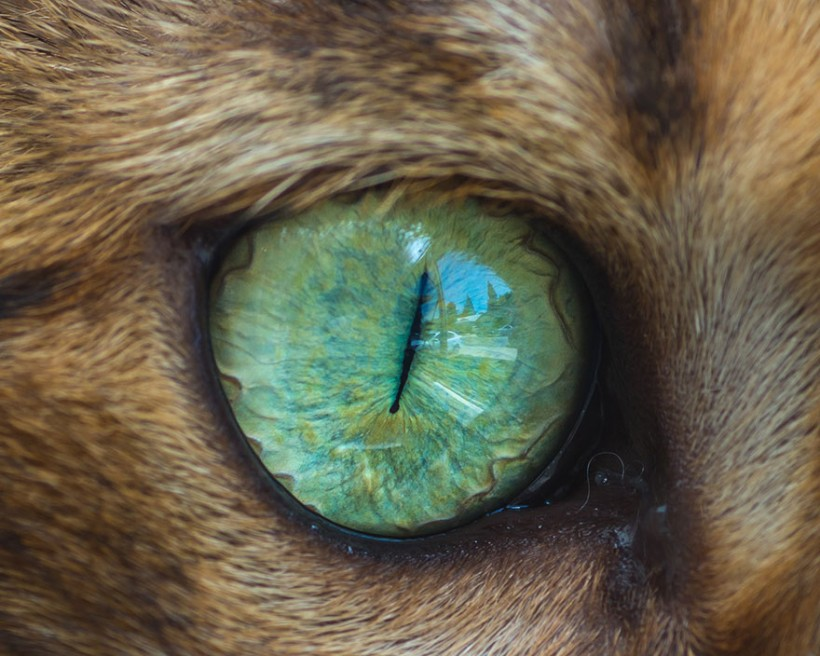 Уникальную макрофотографии кошачьих глаз