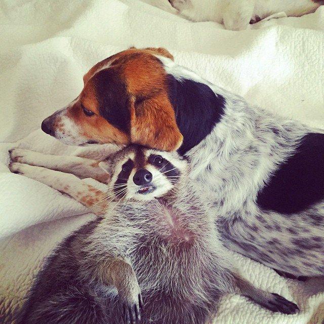 Енотиха считает себя одной из собак
