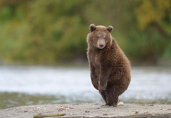 Медвежьи тропы на Камчатке