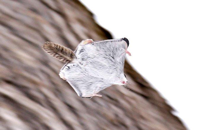Очаровательные и милые летяги