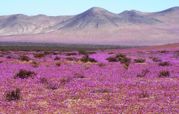 Чилийская пустыня Атакама покрылась цветами, окрасившими ее в розовый цвет