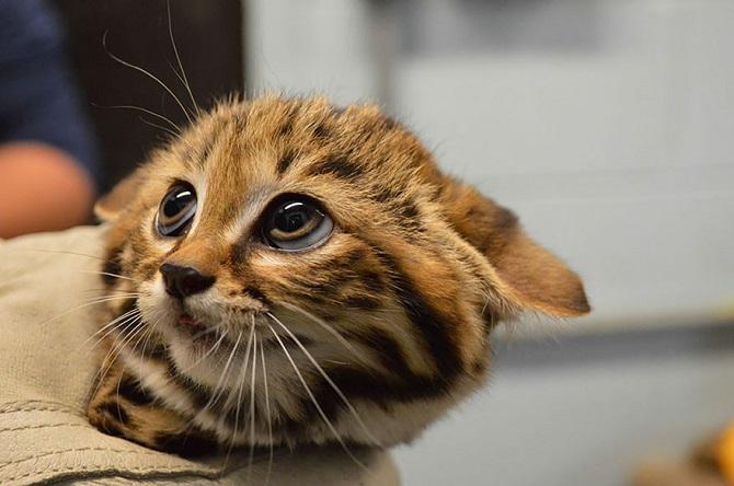 Виды диких кошек, о которых вы могли не знать