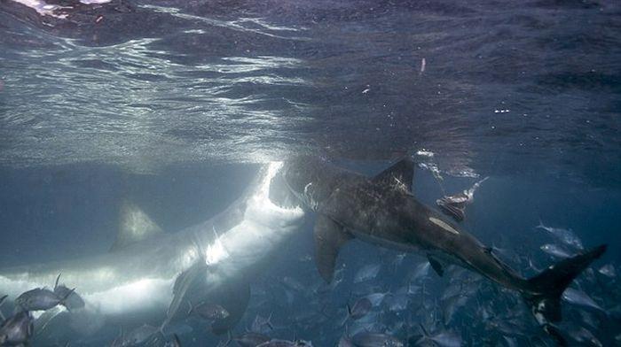 Большая белая акула проучила молодую акулу
