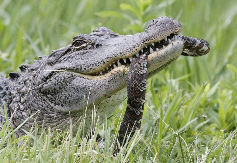 Голодному крокодилу черепаха и змея - на один зуб