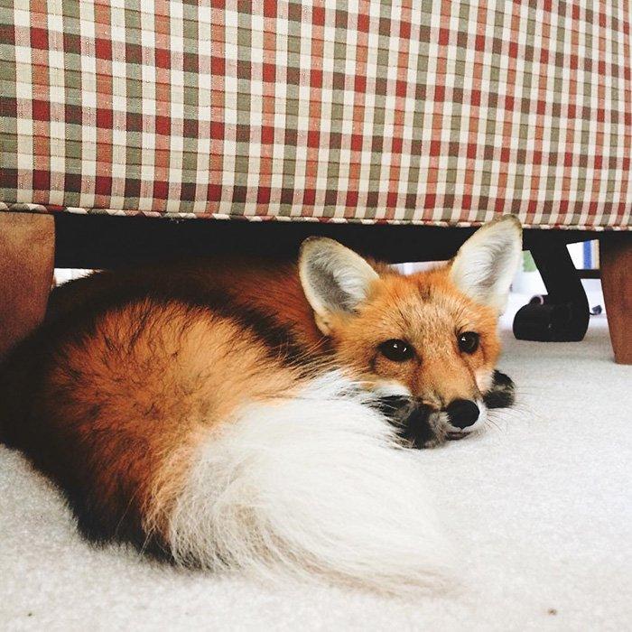 Счастливая лиса Джунипер покоряет Instagram