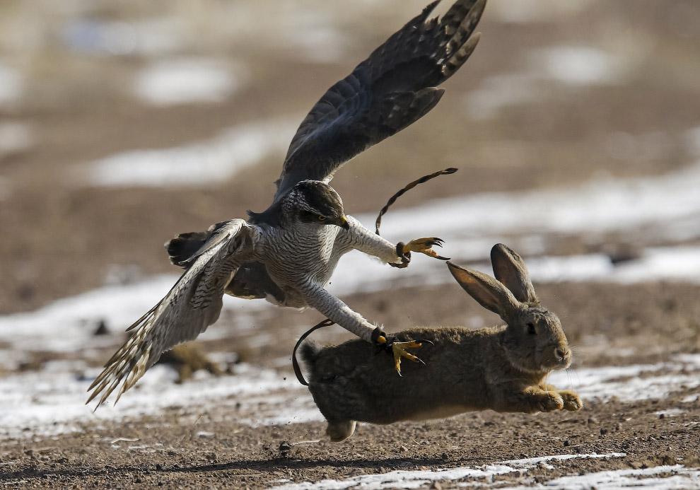 На охоту с беркутом