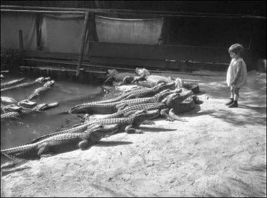 На ферме аллигаторов, Лос-Анджелес 1920 год