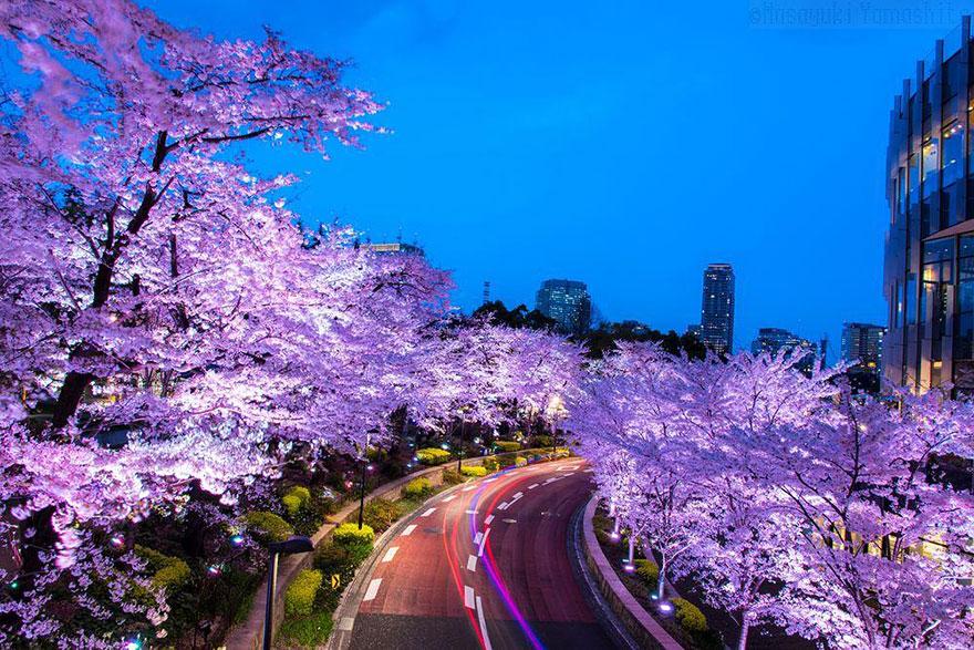 Цветущая сакура на волшебных фотографиях от National Geographic
