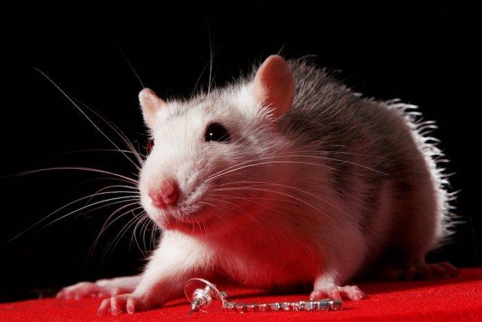 белье умеют ли крысы смеяться рассмотрели требования белью