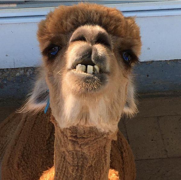 Лучший друг юного австралийца: альпака по кличке Чеви