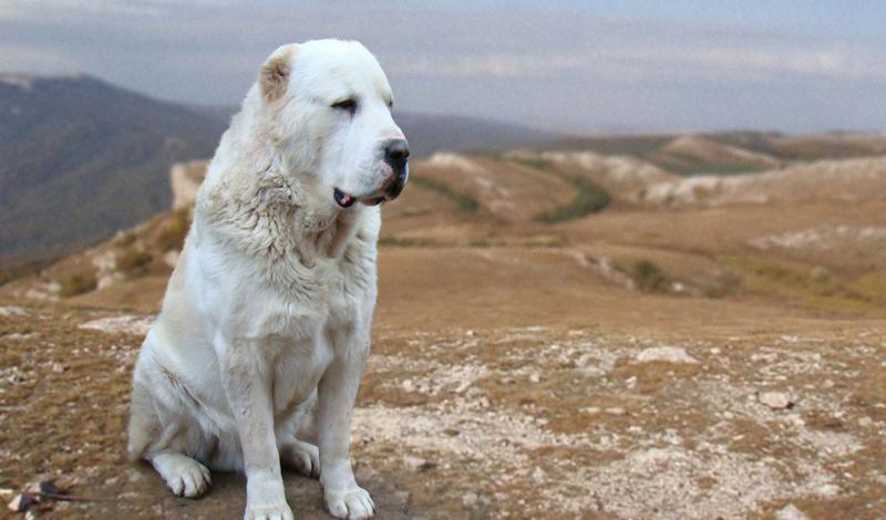 Как правильно выбрать сторожевую собаку
