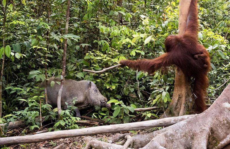 Самка орангутанга отогнала палкой кабана от своего детеныша