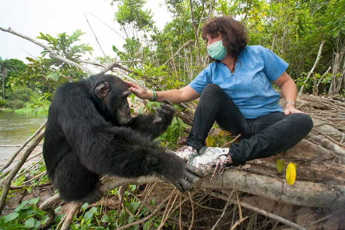Самый одинокий самец шимпанзе