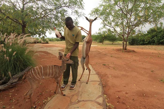 Геренук - животное, которое может прожить все лето без воды