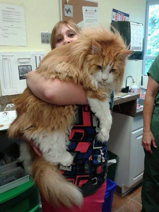 16 огромных и очень дружелюбных кошек