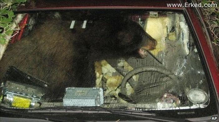 Когда животные встречают автомобили