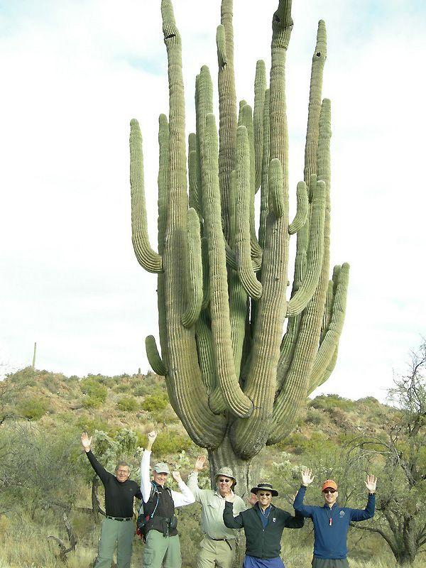 Гигантские кактусы Сагуаро