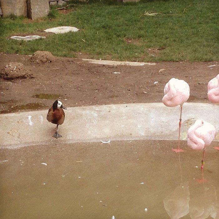 Эти утки решили, что они фламинго